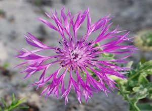 Photo of Significado da Flor Centaurea